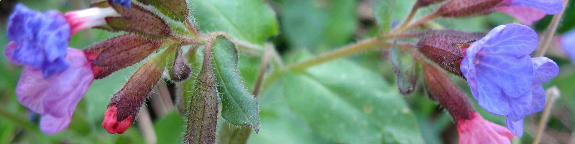 Čajevi od samoniklog bilja